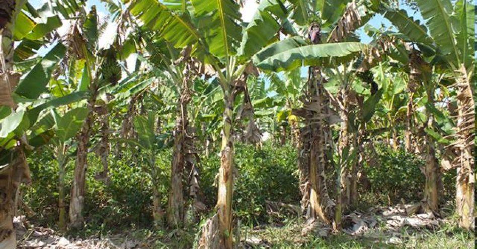 Bananeira orgânica é bom negócio para pequeno produtor