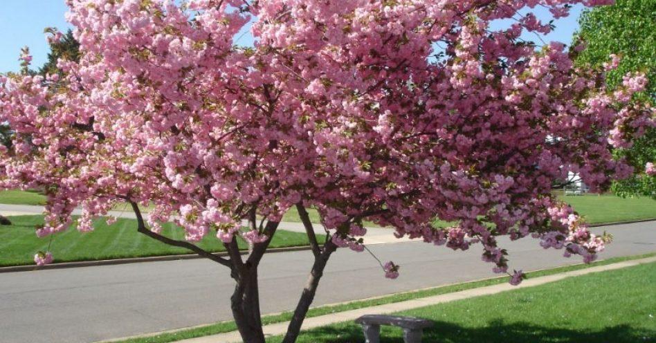 Cerejeira japonesa confere toque oriental ao ambiente
