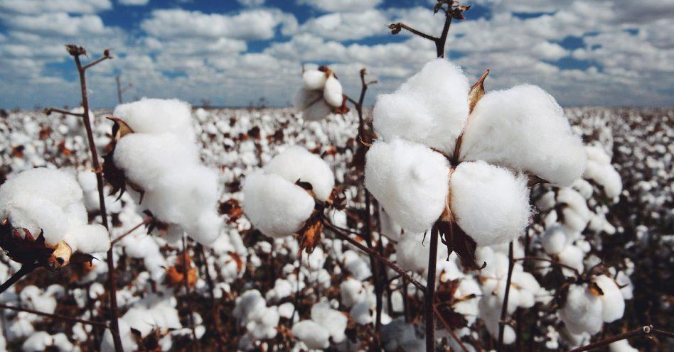 Cultivo de algodão agroecológico volta a ser incentivado no semiárido brasileiro