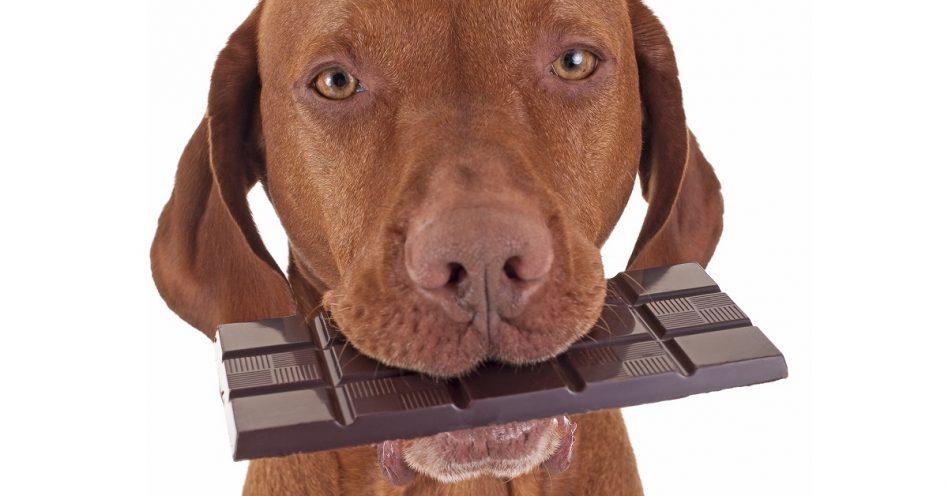 Chocolate e ovos de Páscoa são tóxicos para pets