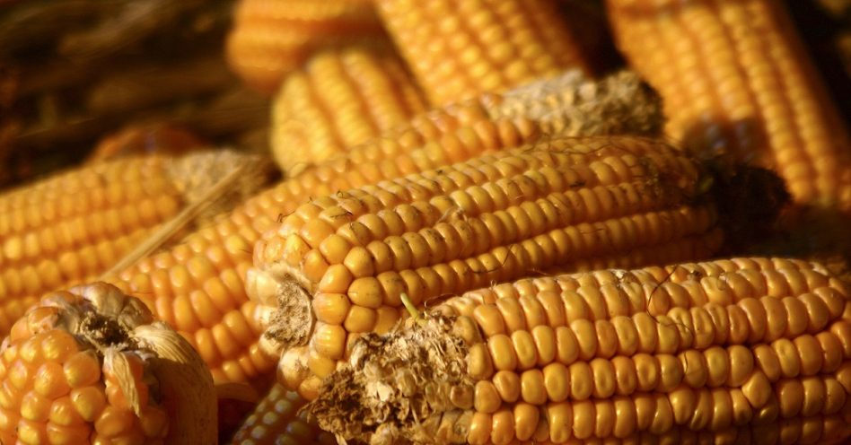 Secretaria de Agricultura lança semente de milho orgânica